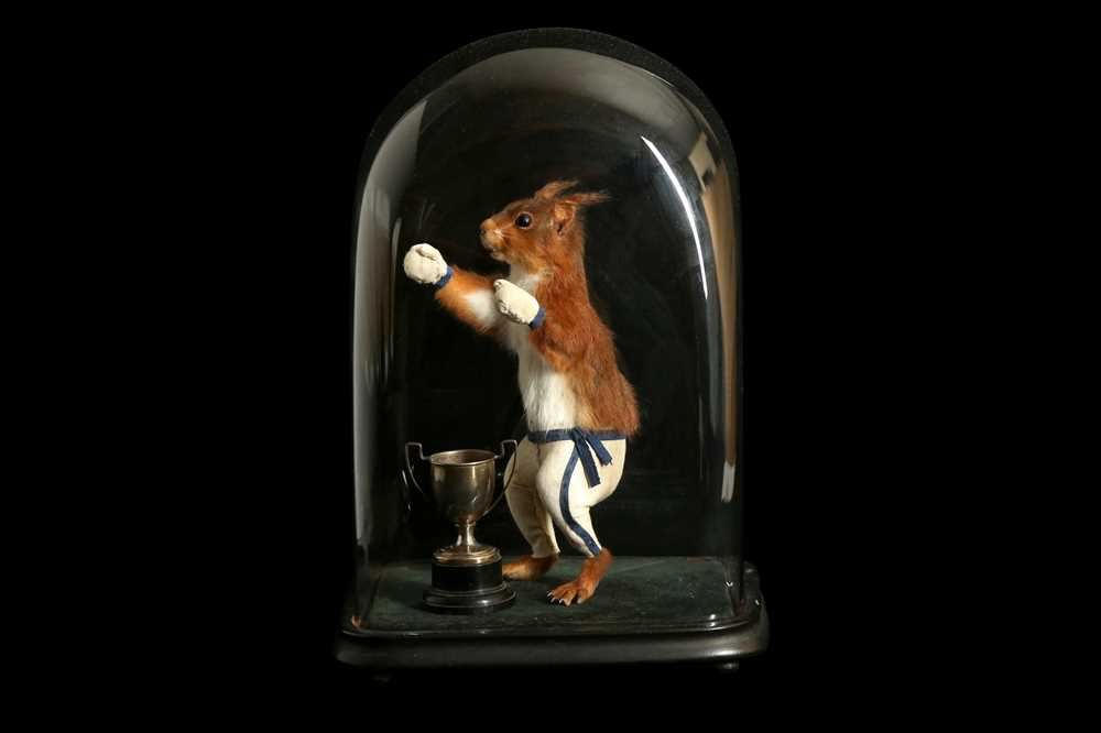 An anthropomorphic taxidermy scene of a boxing squirrel in the manner of Walter Potter