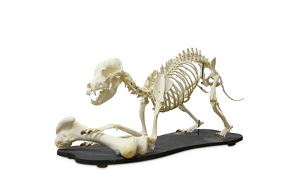 Lot 12-THE SKELETON OF A RHODESIAN RIDGEBACK toying with ...
