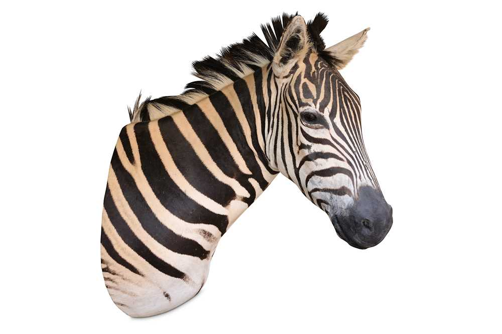 Lot 2-A TAXIDERMY HEAD AND NECK OF A ZEBRA