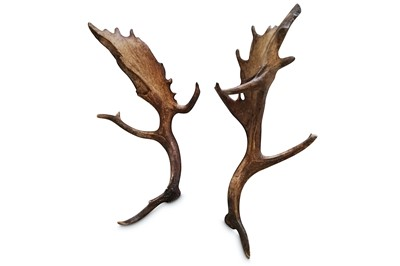 Lot 17A-A RARE PAIR OF 28 POINT WILD FALLOW DEER ANTLERS