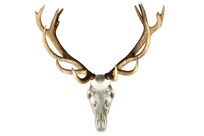 Lot 17-A SET OF 17 POINT ENGLISH RED DEER STAG ANTLERS AND SKULL