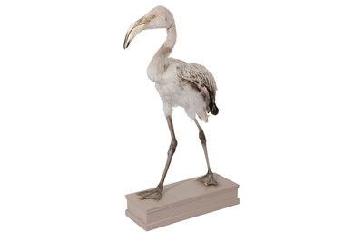 Lot 6-AN UNUSUAL TAXIDERMY JUVENILE LESSER FLAMINGO