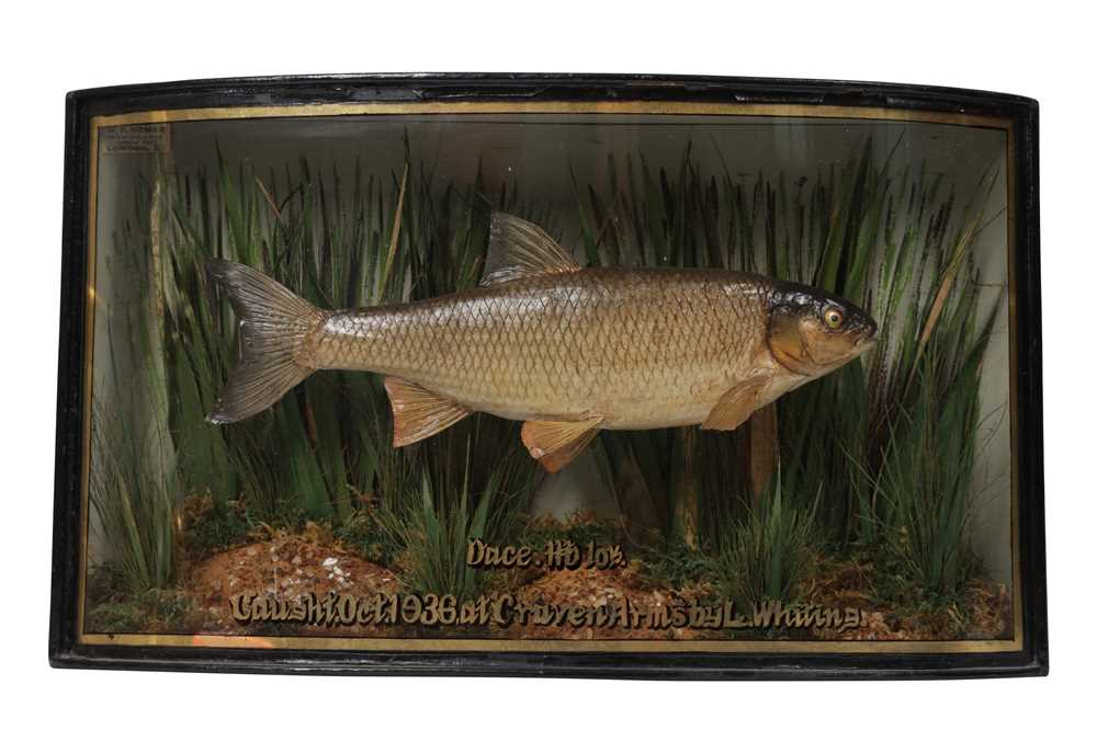 Lot 11-AN EARLY 20TH CENTURY ENGLISH TAXIDERMY TROPHY DACE