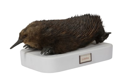 Lot 17-A RARE EARLY 20TH CENTURY TAXIDERMY ECHIDNA (TACHYGLOSSIDAE)