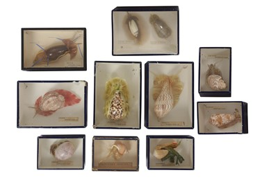Lot 18-A COLLECTION OF TEN EXCEPTIONALLY RARE 19TH CENTURY SEA SHELL SPECIMENS