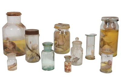 Lot 19-TAXIDERMY INTEREST: A COLLECTION OF TEN 20TH CENTURY FETAL WET SPECIMENS