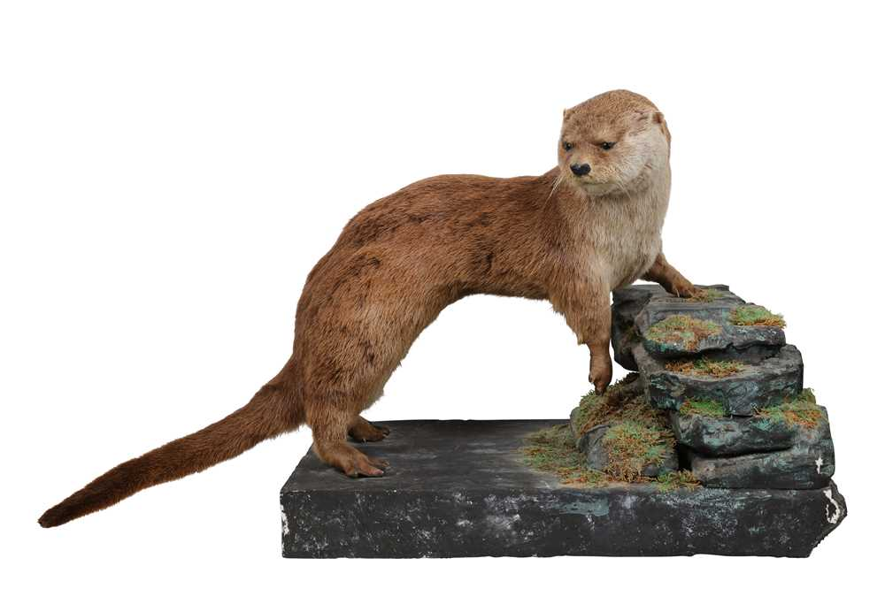 Lot 9-AN EARLY 20TH CENTURY BRITISH TAXIDERMY OTTER (LUTRA LUTRA)