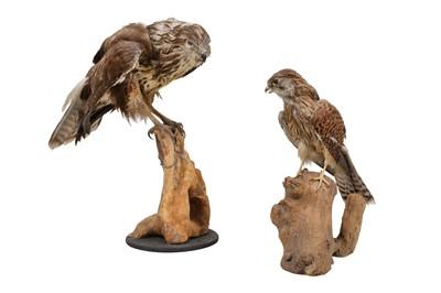 Lot 5-TWO TAXIDERMY BRITISH BIRDS OF PREY