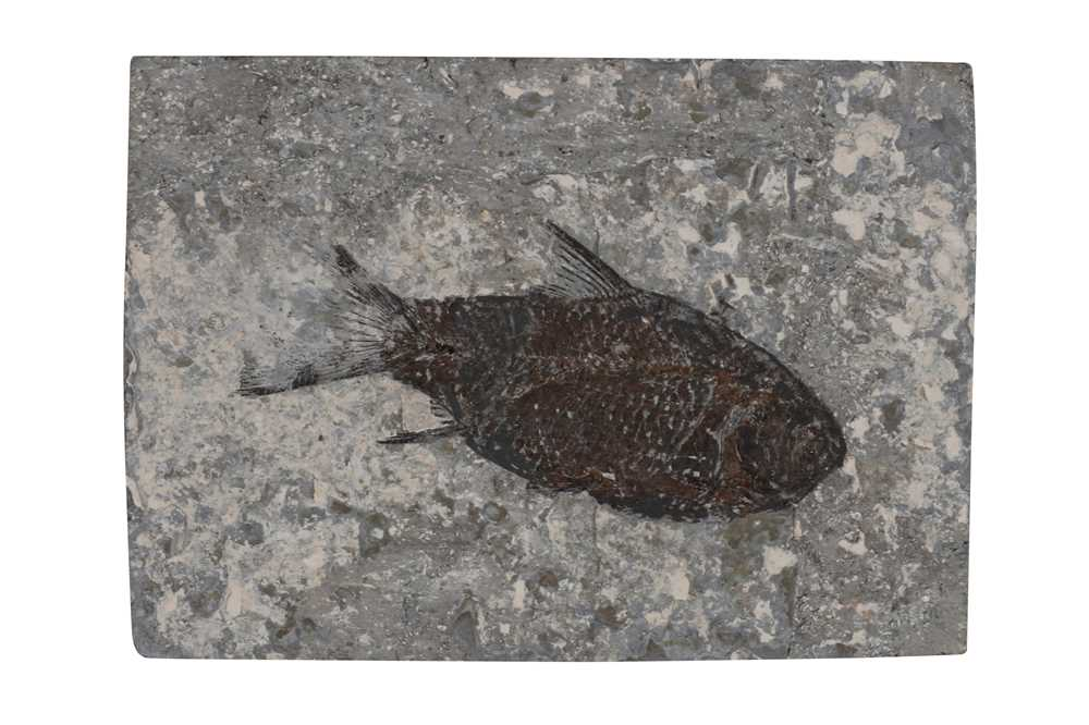 Lot 25-A SMALL FISH FOSSIL