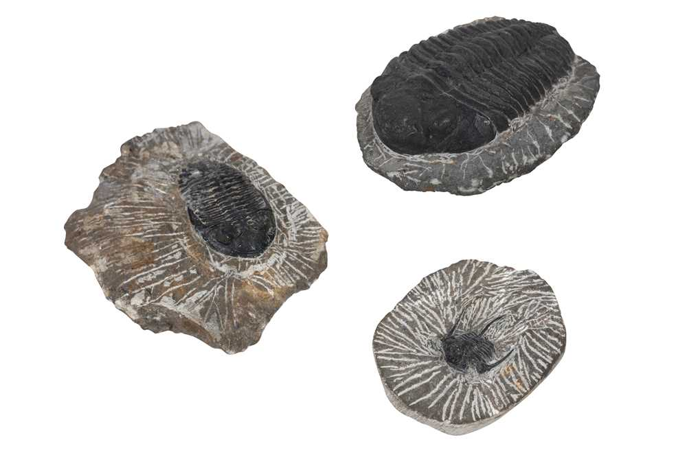 Lot 22-A GROUP OF THREE TRILOBITE FOSSILS