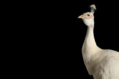 Lot 168 - A TAXIDERMY WHITE PEACOCK ON STAND