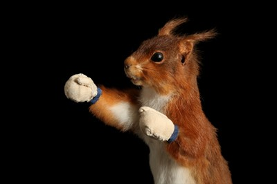 Lot 181 - AN ANTHROPOMORPHIC TAXIDERMY SCENE OF A BOXING SQUIRREL IN THE MANNER OF WALTER POTTER