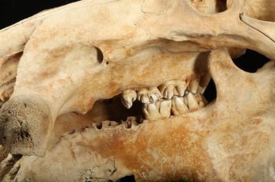Lot 18 - A 19TH CENTURY HIPPO SKULL