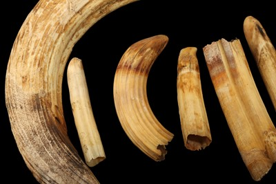 Lot 27 - A COLLECTION OF TWELVE HIPPO TUSKS AND TEETH