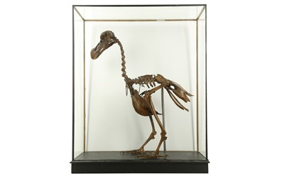 Lot 10 - A  PAINTED CAST OF A DODO  SKELETON