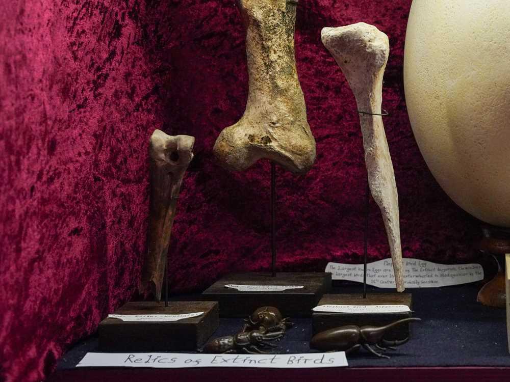 Lot 8 - AN EXCEPTIONALLY RARE DODO BONE, MAURITIUS, BEFORE 1690