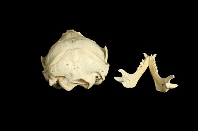 Lot 21 - A HOODED SEAL (CYSTOPHORA CRISTATA) SKULL
