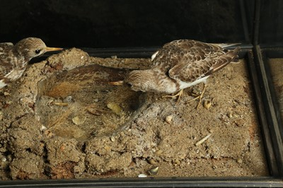 Lot 47 - A LATE 19TH / EARLY 20TH CENTURY  TAXIDERMY GROUP OF TURNSTONES IN A DISPLAY CASE