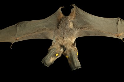 Lot 28 - A TAXIDERMY BAT WITH TWO HEADS