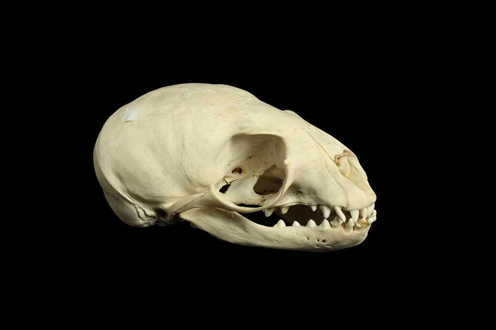 Lot 22 - A BEARDED SEAL (ERIGNATHUS BARBATUS) SKULL