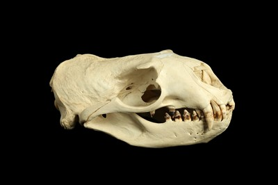 Lot 23 - A STELLER SEA LION (EUMETOPIAS JUBATUS) SKULL
