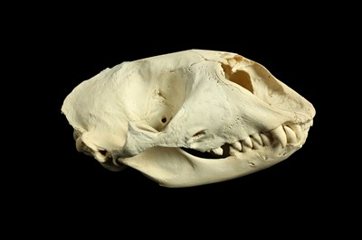 Lot 24 - A GREY SEAL SKULL (HALICHOERUS GRYPUS)