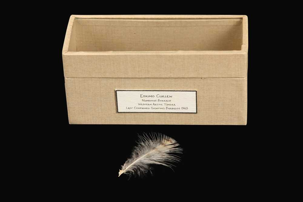 Lot 11 - RELICS OF EXTINCT BIRDS: A FEATHER OF A ESKIMO CURLEW, NUMENIUS BOREALIS