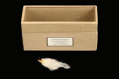 Lot 12 - RELICS OF EXTINCT BIRDS: A FEATHER OF A FEMALE  PASSENGER PIGEON, ECTOPISTES MIGRATORIUS
