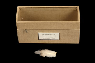 Lot 15 - RELICS FROM EXTINCT BIRDS: A FEATHER OF A MALE PASSENGER PIGEON, ECTOPISTES MIGRATORIUS