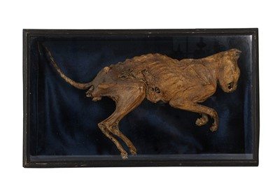 Lot 26 - A MUMMIFIED CAT, DISPLAYED IN EBONISED 'COFFIN'