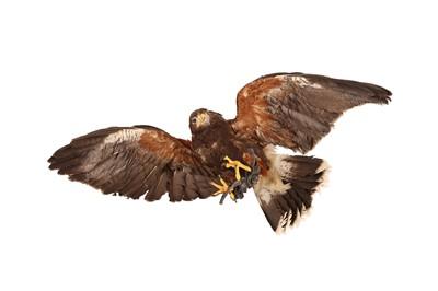 Lot 60 - A TAXIDERMY HARRIS HAWK IN FLIGHT, WALL MOUNTED