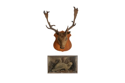Lot 64 - A TAXIDERMY VICTORIAN OTTER  TOGETHER WITH A STAG'S HEAD