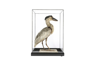 Lot 21 - A VICTORIAN TAXIDERMY BOAT BILLED HERON