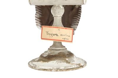 Lot 18 - A VICTORIAN TAXIDERMY TROGON