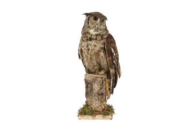 Lot 18A - A TAXIDERMY MAGELLAN EAGLE OWL