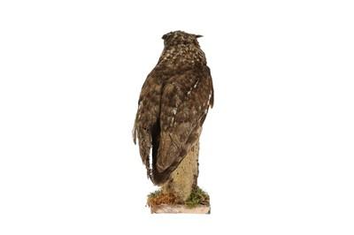 Lot 18 - A TAXIDERMY MAGELLAN EAGLE OWL