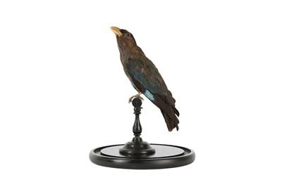Lot 90 - A VICTORIAN TAXIDERMY ORIENTAL DOLLAR BIRD