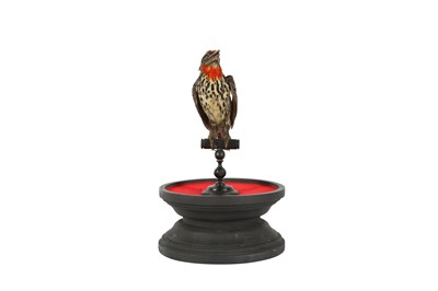 Lot 88 - A  VICTORIAN TAXIDERMY BLACK SPOTTED BARBET