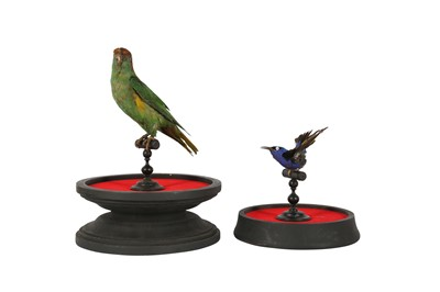 Lot 89 - A VICTORIAN TAXIDERMY MUSK LORIKET TOGETHER WITH A RED LEGGED HONEY CREEPER