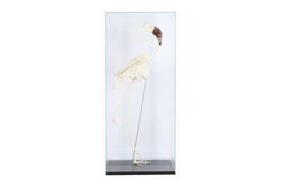 Lot 19 - THE SKELETON OF A LESSER FLAMINGO IN A GLASS DISPLAY CASE