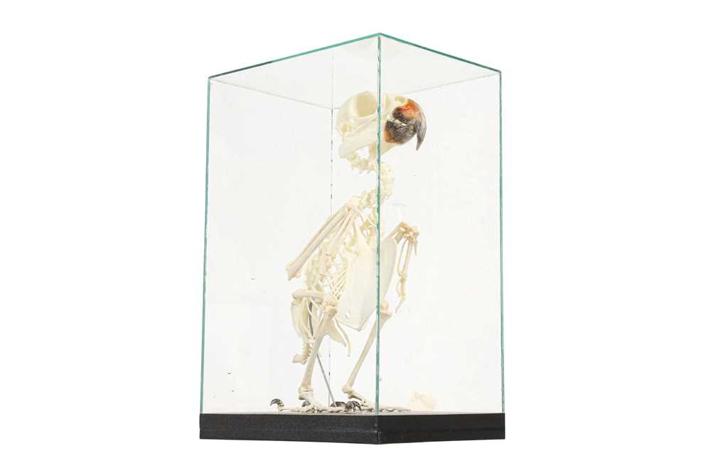 Lot 20 - THE SKELETON OF AN AMAZON PARROT IN A GLASS CASE