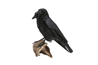 Lot 15 - TAXIDERMY: A TWO-HEADED CROW