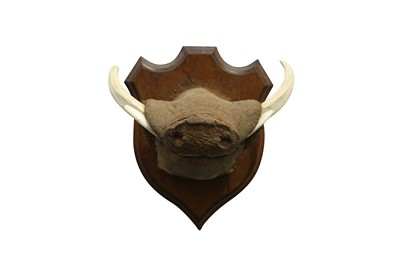 Lot 55 - TAXIDERMY: AN UNUSUAL WARTHOG SNOUT WITH TASKS