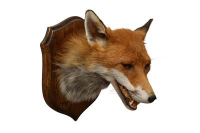 Lot 65 - TAXIDERMY: RED FOX ( VULPES VULPES) HEAD ON OAK SHIELD
