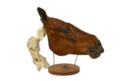 Lot 7 - TAXIDERMY: A UNIQUE COMPARATIVE ANATOMY HORSE HEAD