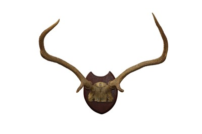 Lot 93 - TAXIDERMY:A PAIR OF RED STAG ANTLERS