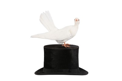 Lot 68 - TAXIDERMY:'A MAGICIAN'S ASSISTANT' WHITE DOVE ON TOP HAT