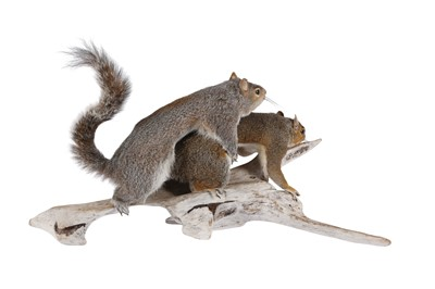 Lot 28 - TAXIDERMY: 'AMOROUS SQUIRRELS'