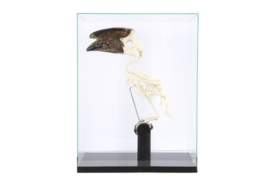 Lot 22 - OSTEOLOGY: TRUMPETER HORNBILL (BYCANISTES BUCINATOR) SKELETON IN GLASS CASE